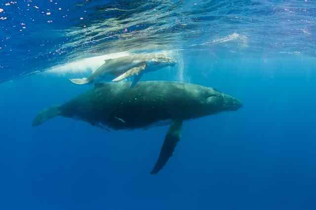 https://tahititourisme.kr/wp-content/uploads/2019/04/Bora-Bora-Humpback-Whales.jpeg