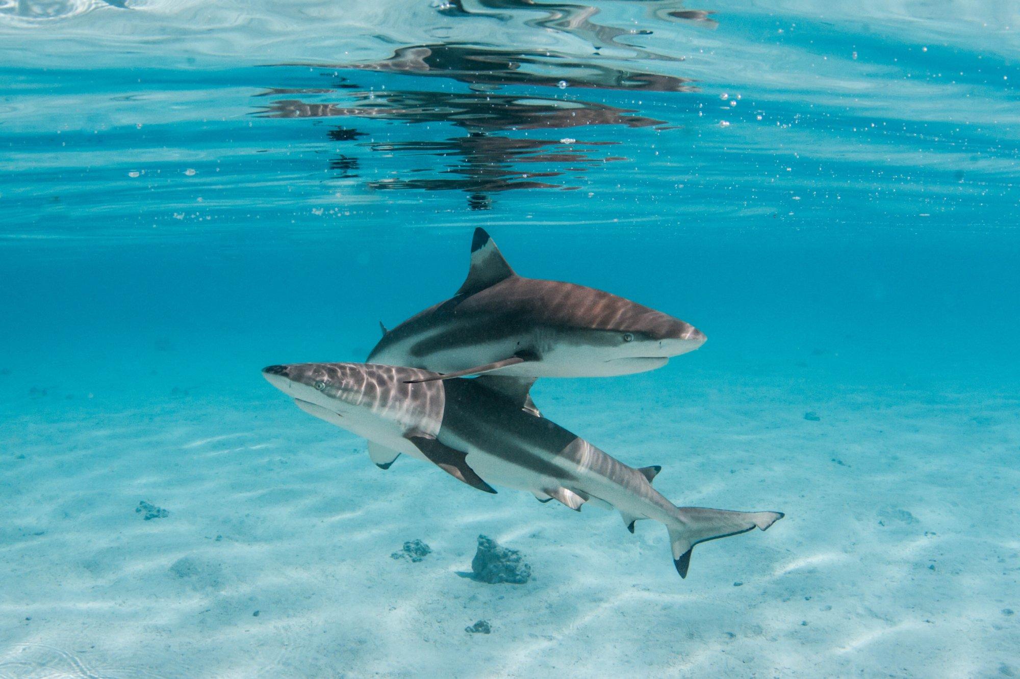 https://tahititourisme.kr/wp-content/uploads/2020/06/deux-magnifiques-requins.jpg